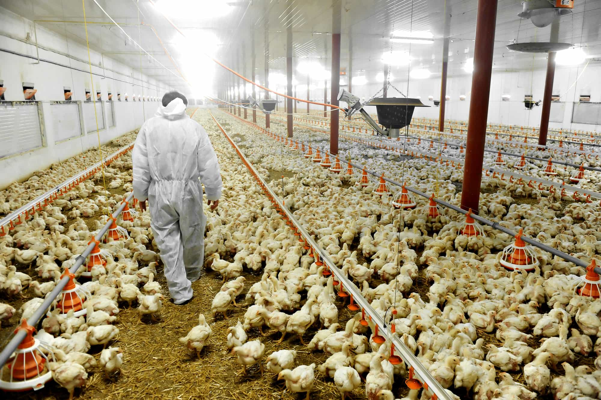 How To Start A Poultry Farm in UAE
